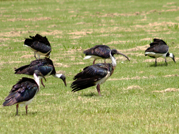 Straw-necked Ibis feeding in a paddock.  Image:   Cyron Ray Macey / Wikimedia Commons