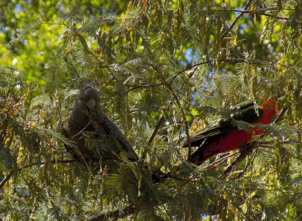 A Gang Gang Cockatoo and a King Parrot.