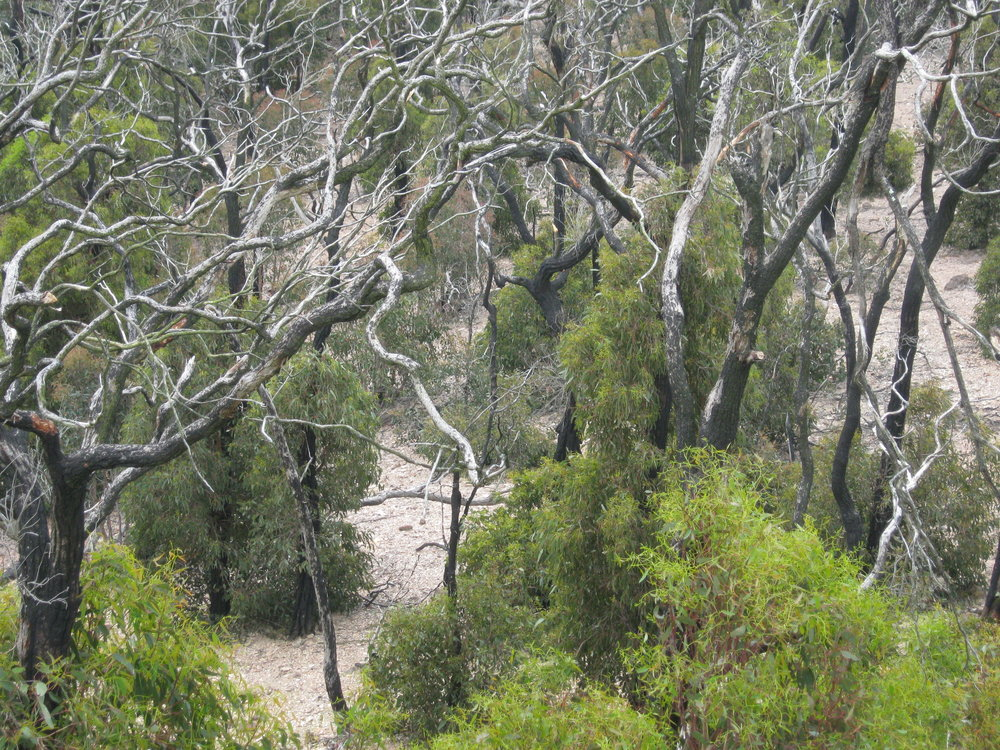 Taken seven years after the bushfire, this photo shows recovering eucalypts and bare soil.  Image: Wendy Cook