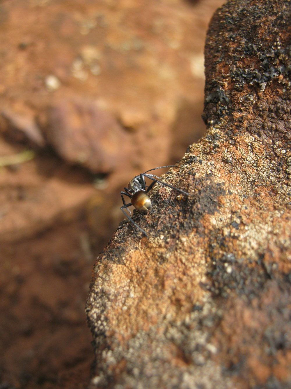 A black ant with its golden abdomen glistening in the sun.  Image: Wendy Cook