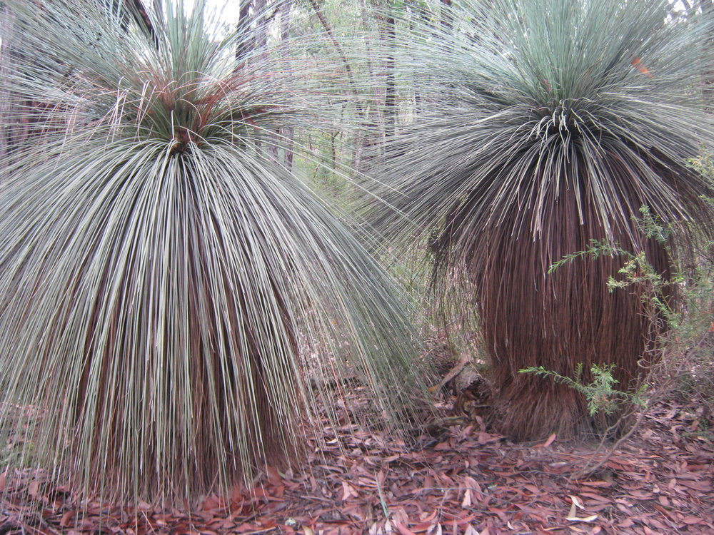 Grass trees are a common sight on the journey to the seat.  Image: Owen Cook