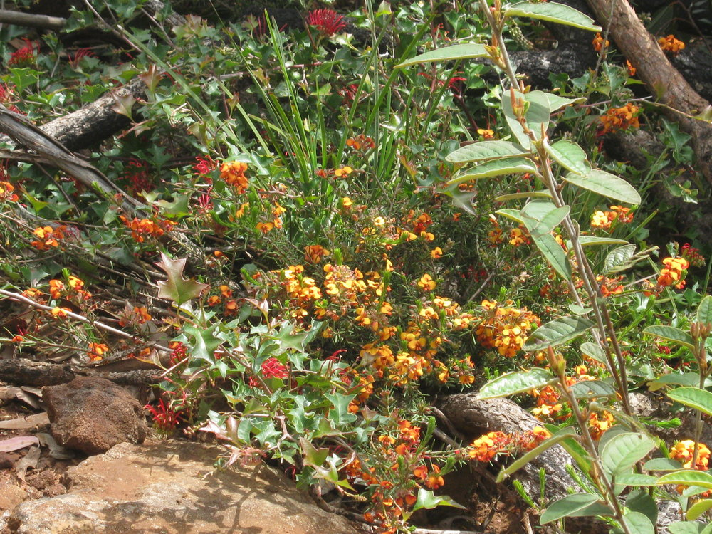 The red flowers of Brisbane Ranges Grevillea ( Grevillea steiglitziana ) growing with Parrot-pea (Dillwynia sp.)