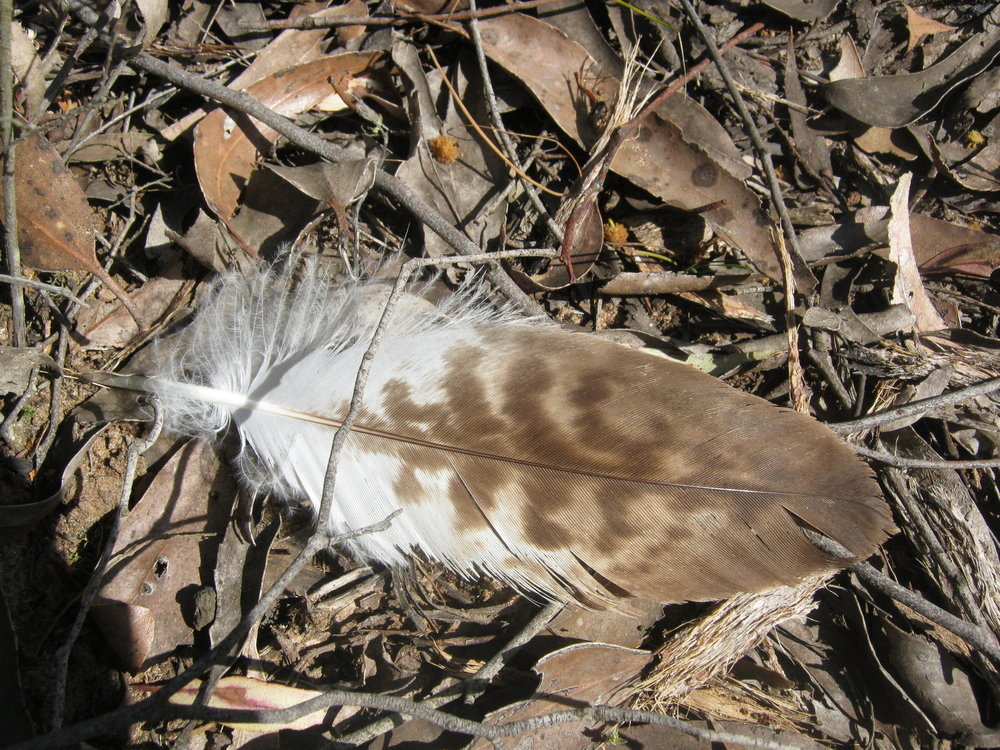 The feather found on Wendy's travels.  Image: Wendy Cook