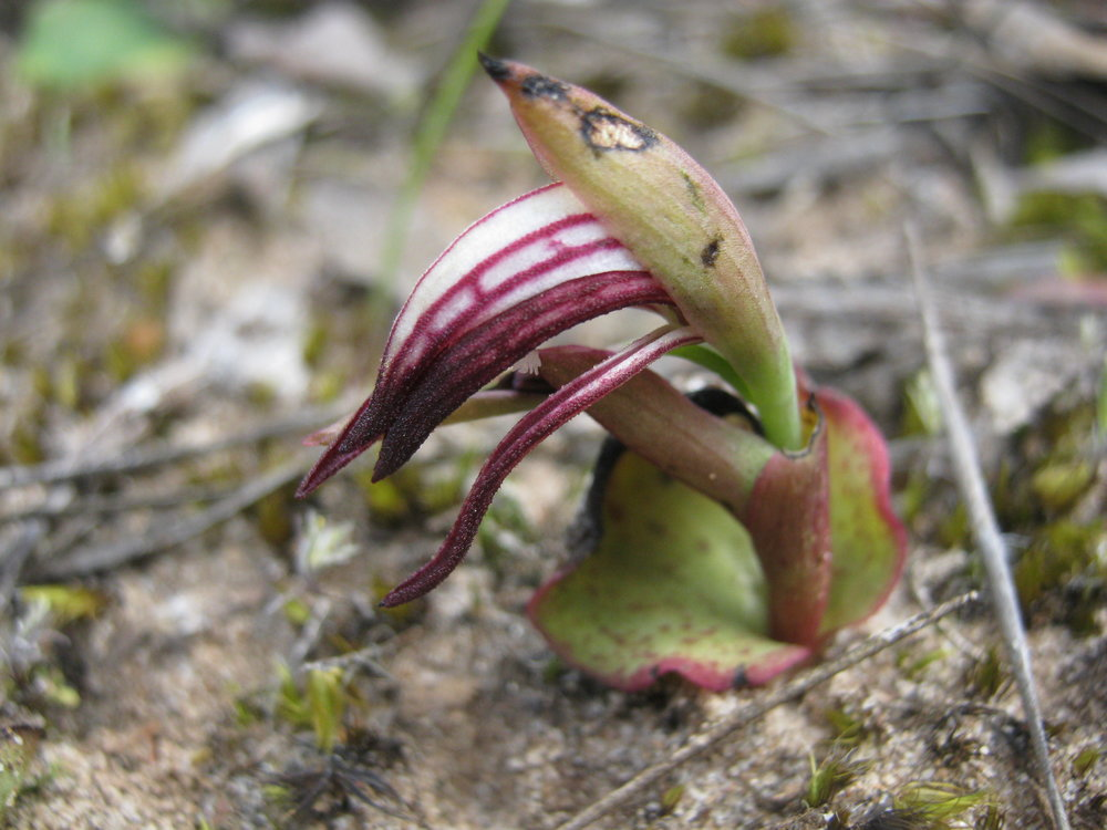 A Red Beaks Orchid ( Pyrorchis nigricans ).  Image: Wendy Cook