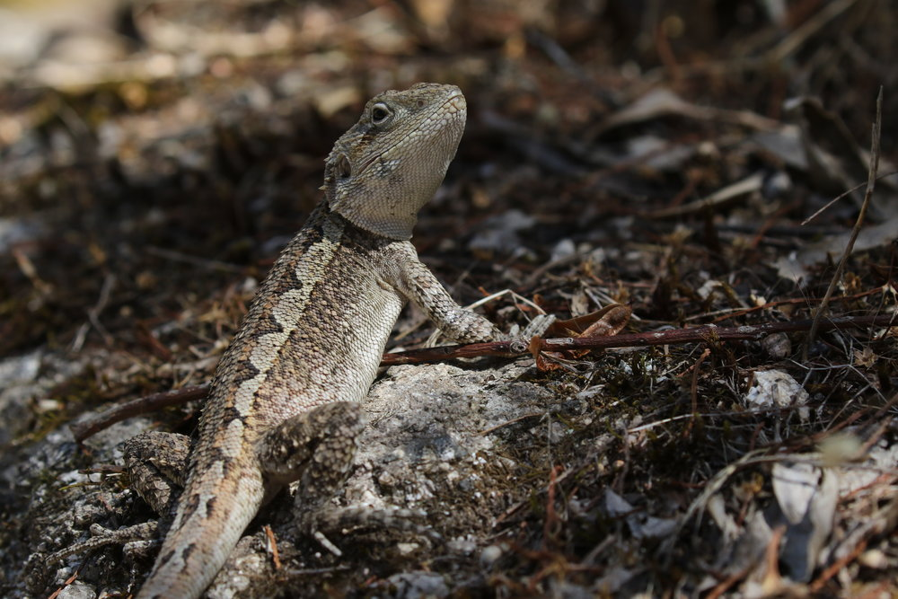 A Jacky Dragon ( Amphibolurus muricatus ). Image: Rowan Mott