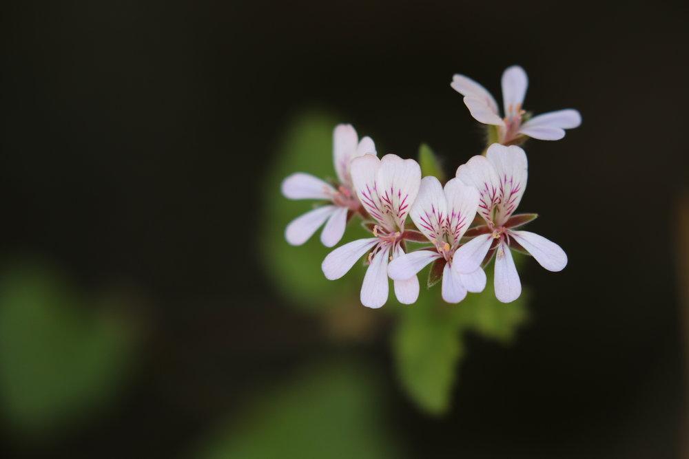 Austral Stork's Bill ( Pelargonium australe ). Image: Rowan Mott