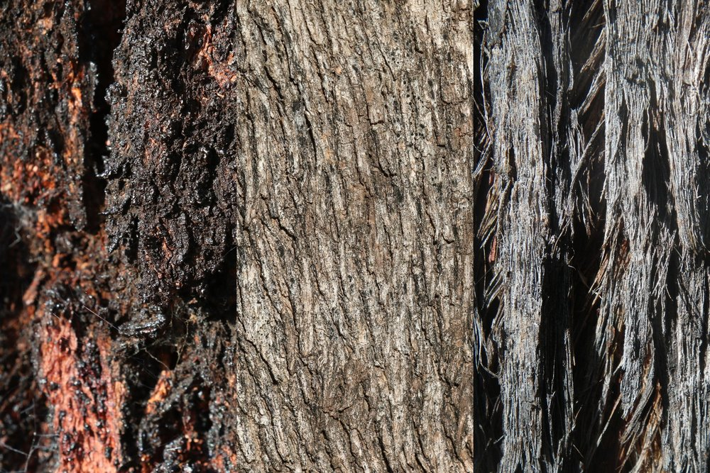 The different bark characteristics of the dominant eucalypts (left to right: Red Ironbark, Grey Box, and Red Stringybark) give the box-ironbark forests an unmistakeable character.  Image: Rowan Mott
