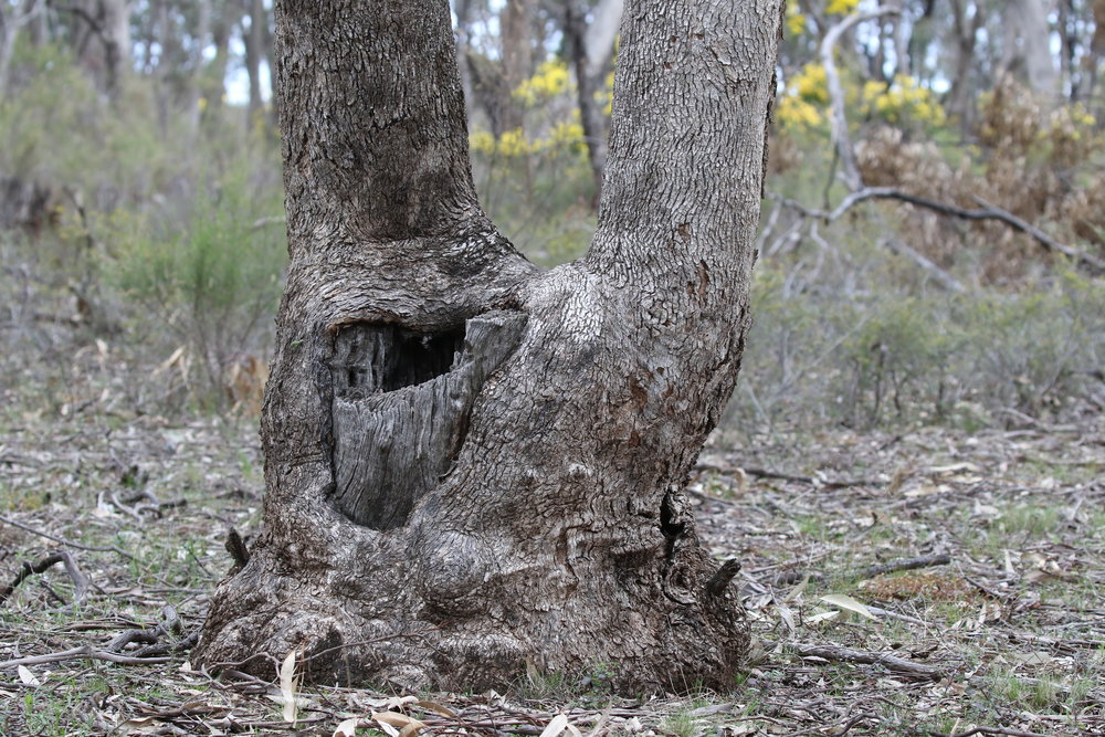 Many of the trees in today's box-ironbark forests have re-grown from the base of a cut stump. This typically results in a multi-stemmed growth form.  Image: Rowan Mott