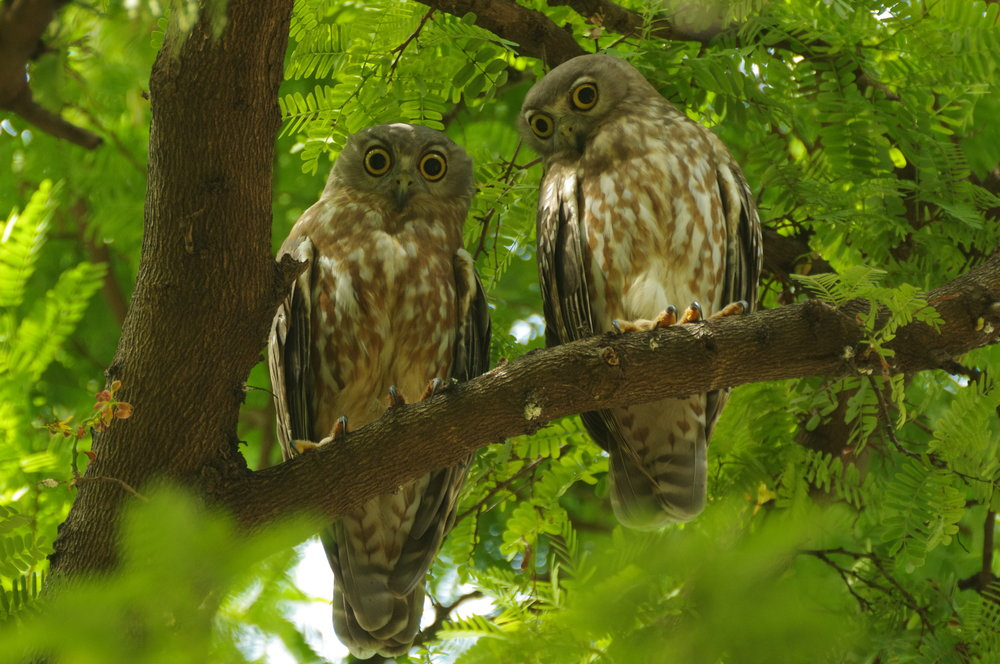 Species that depend on large tree hollows, such as the Barking Owl, are threatened by the lack of large trees in present day box-ironbark forests. The thin, multi-stemmed growth form of most of the trees simply cannot provide enough of this vital habitat feature. Image: Rowan Mott