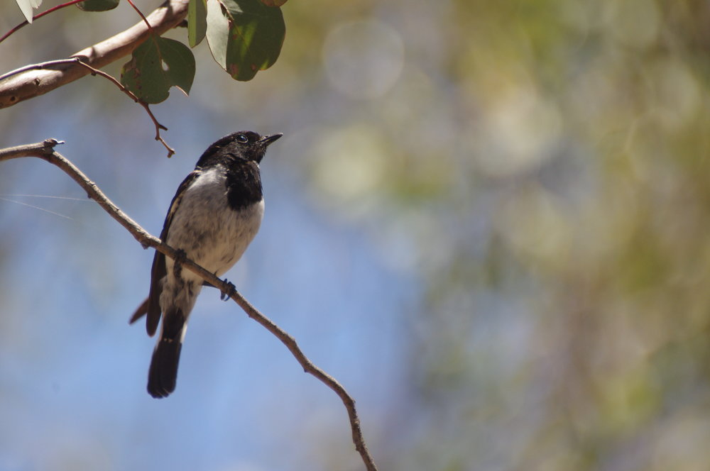 Species that forage on the ground among fallen timber, such as the Hooded Robin, are declining in Victoria. The loss of large, old trees, which contribute disproportionally to the amount of fallen timber, is likely a contributing factor in their decline.  Image: Rowan Mott