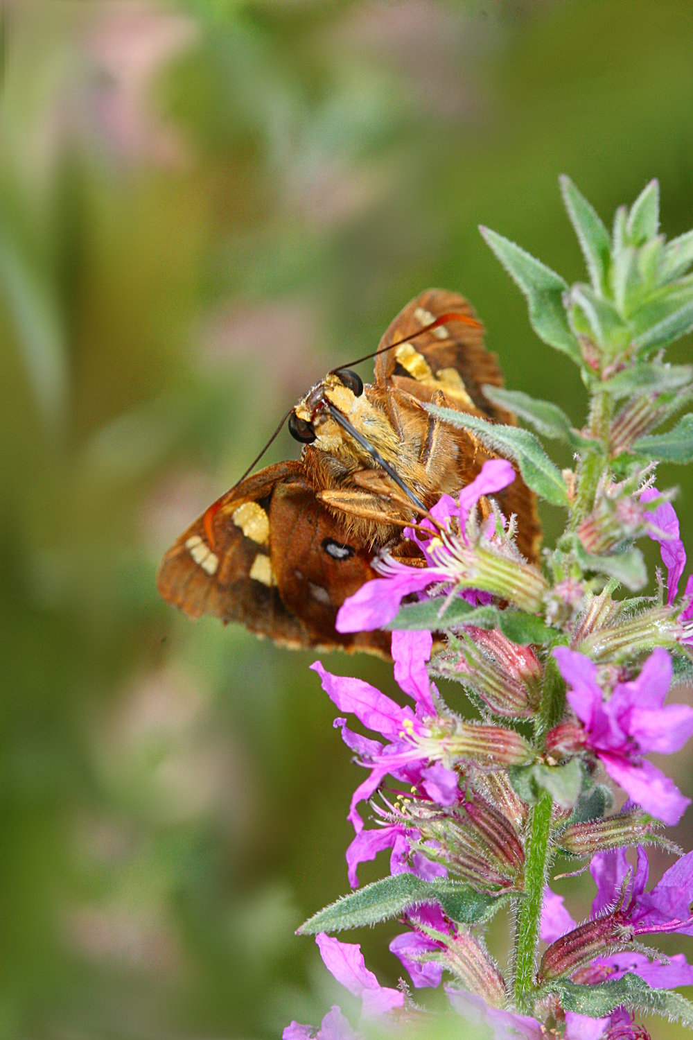 An Ochre Skipper Butterfly feeding on Purple Loosestrife.  Image: Michael Smith