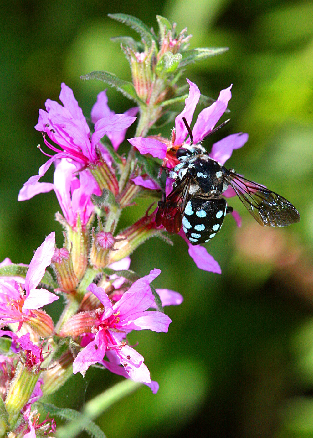 A Chequered Cuckoo Bee feeding on Purple Loosestrife.  Image: Michael Smith