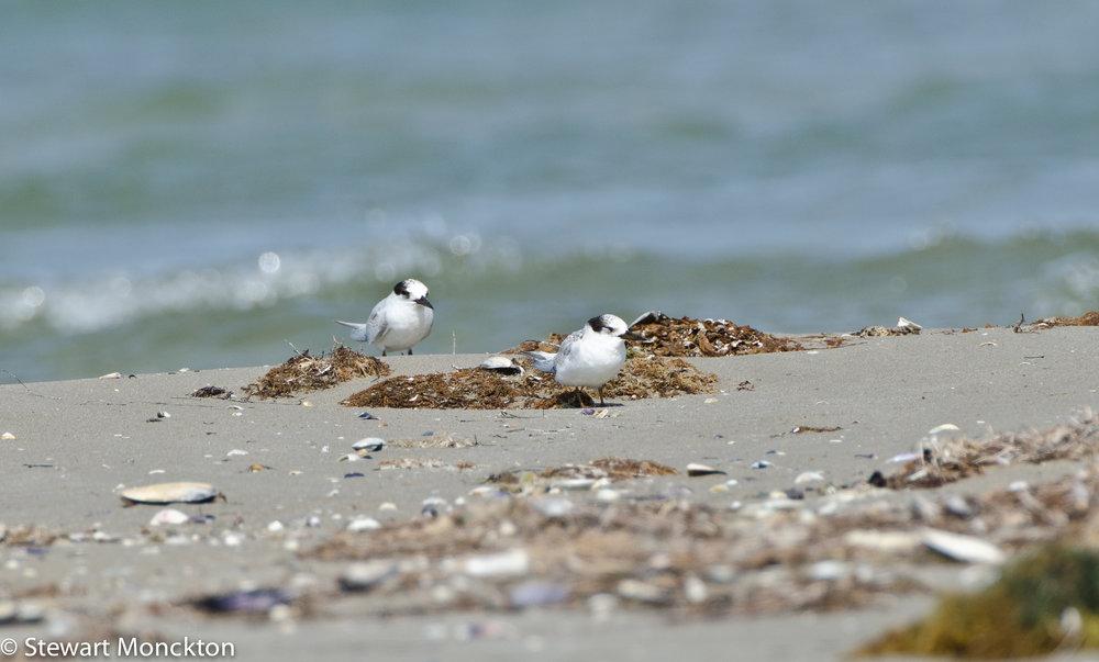 The mystery terns - probably Fairy Terns. Image: Stewart Monckton