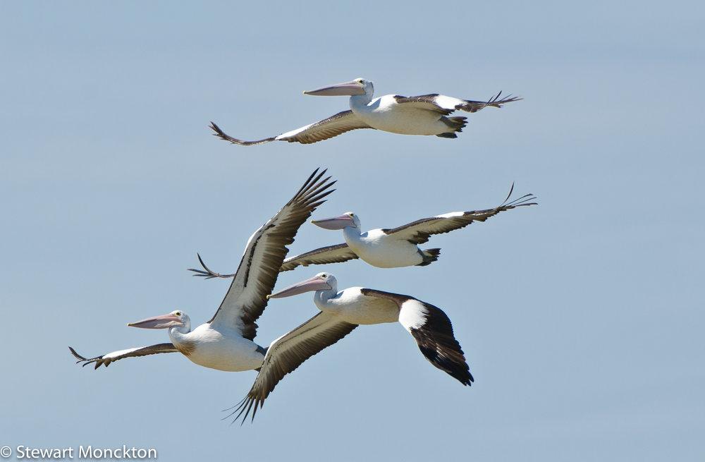 Pelicans flying overhead. Image: Stewart Monckton