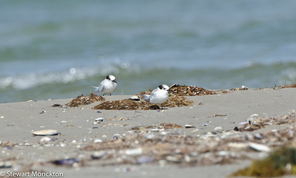 The mystery terns - probably Fairy Terns.  Image: Stewart Monckton