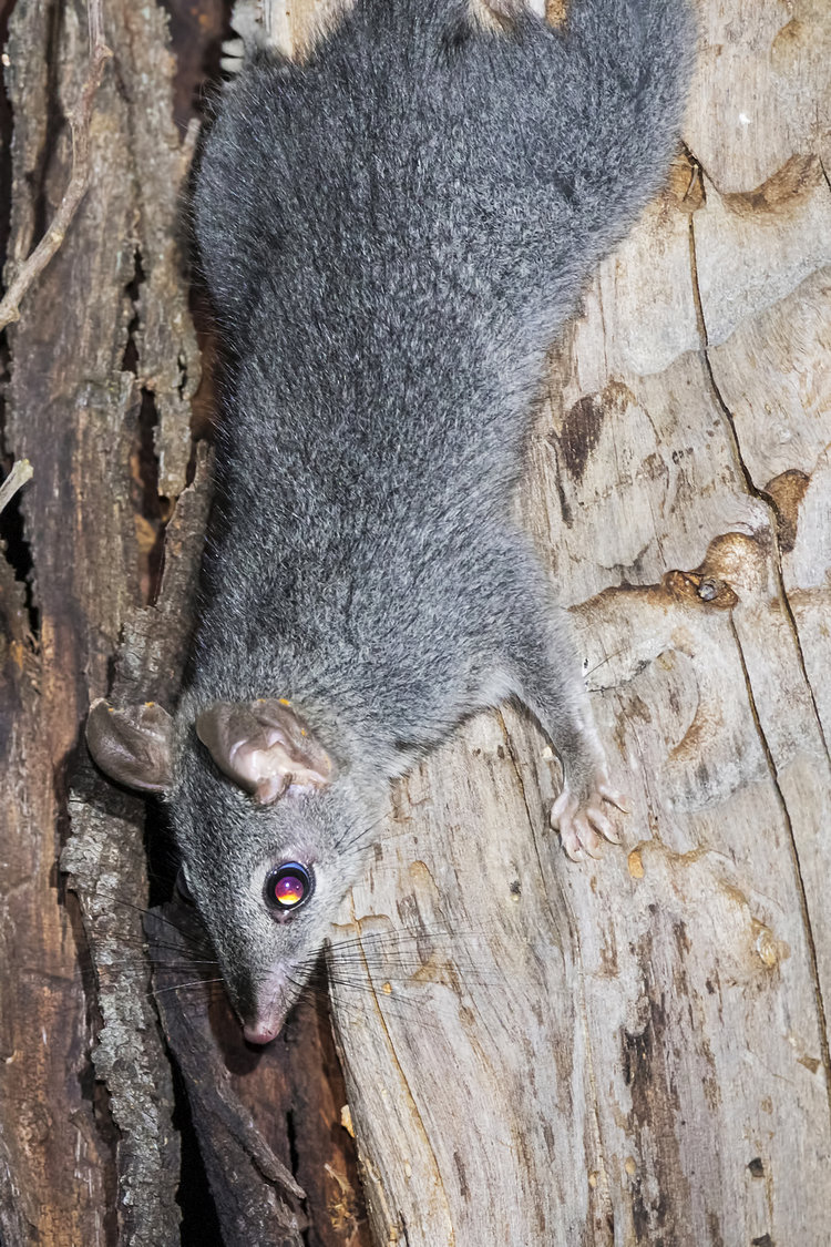 The Brush-tailed Phascogale or Tuan. Note the dark stripe that runs down their face, ending at the nose.  Image: David Whelan