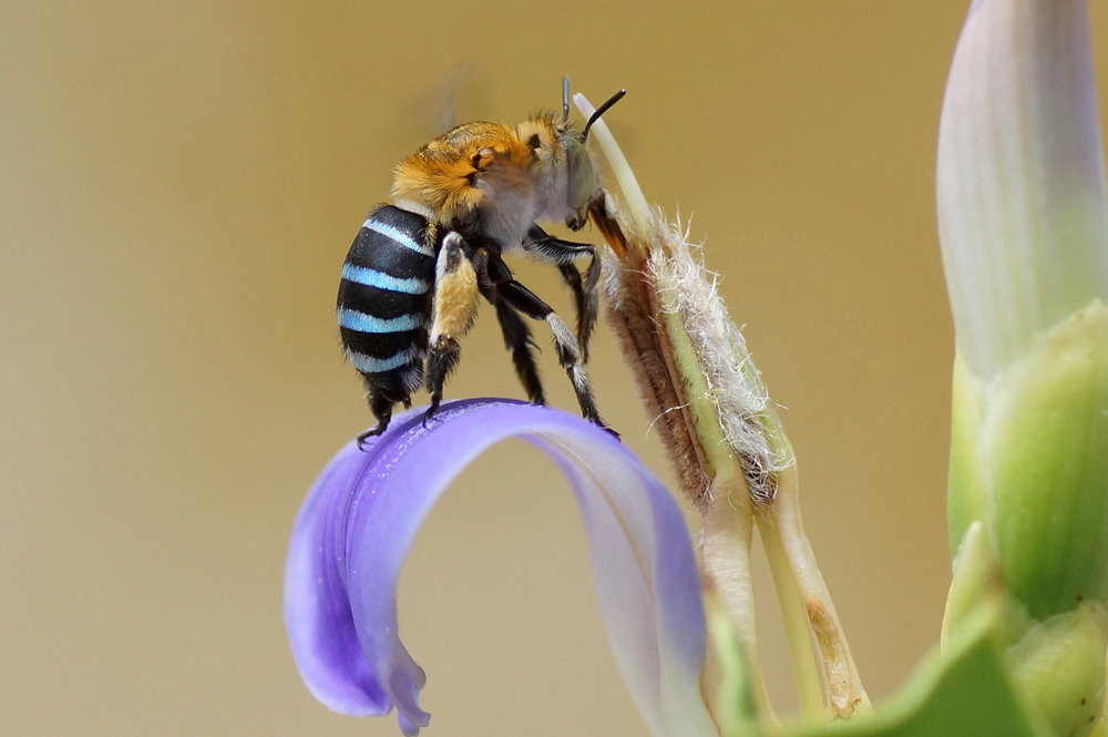 The vividly coloured Blue-banded Bee is one spectacular native insect you might be able to spot around Melbourne if you're lucky! Image:Vengolis [CC BY-SA 3.0 (https://creativecommons.org/licenses/by-sa/3.0)], from Wikimedia Commons