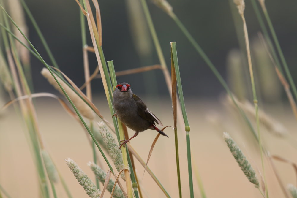 Red-browed Finches can often be found feeding among seeding grasses.  Image: Rowan Mott