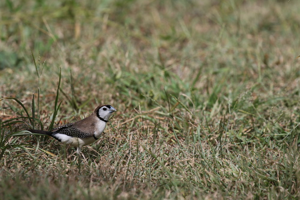 Double-barred Finches occur in only a very small proportion of Victoria. However, their striking plumage makes it well worth putting in some effort to find them.  Image: Rowan Mott