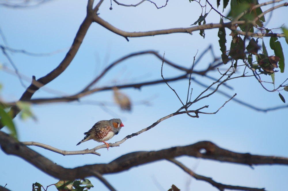 The many studies conducted on Zebra Finches have taught us much about bird biology, and some of the findings even have implications for human biology.  Image: Rowan Mott