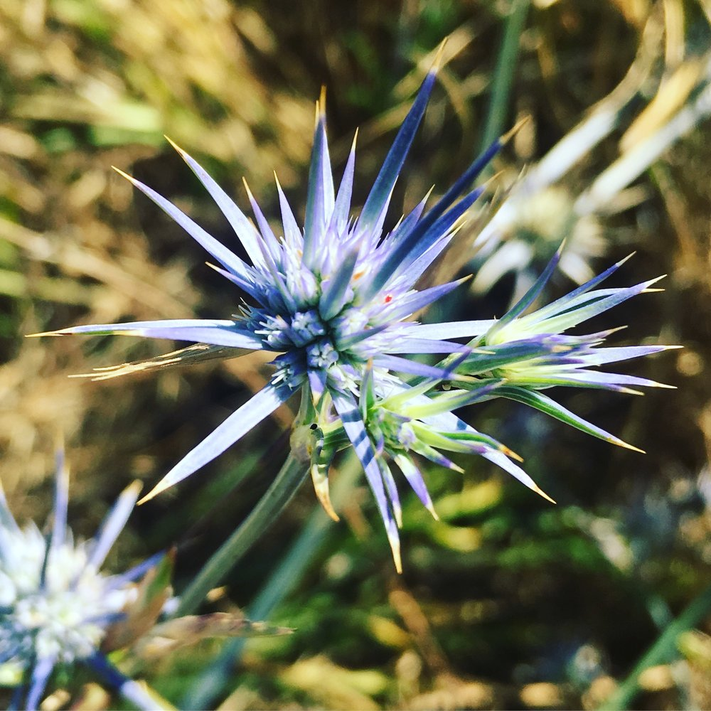A Blue Devil ( Eryngium ovinum ), one of many native plants found in Melbourne's Royal Park.  Image: Donna Lo Bartolo Shiel