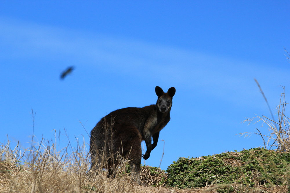 On the way to the Pinnacles, a curious Swamp Wallaby watches passer-by while a bird of prey soars in the background.  Image: Elodie Camprasse