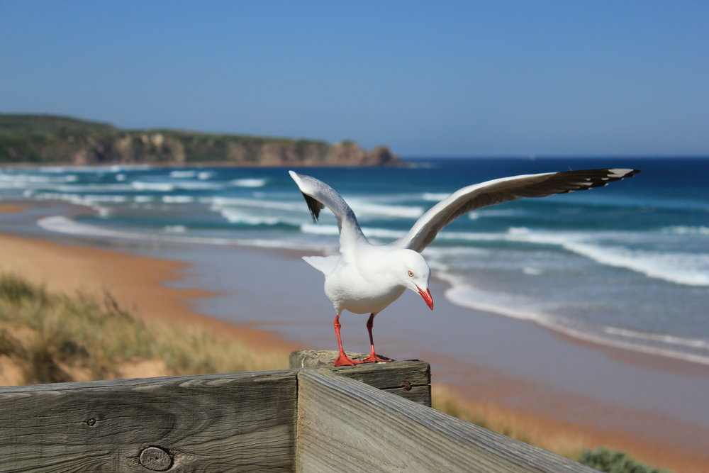 Cape Woolamai Beach and the Pinnacles in the background.  Image: Elodie Camprasse