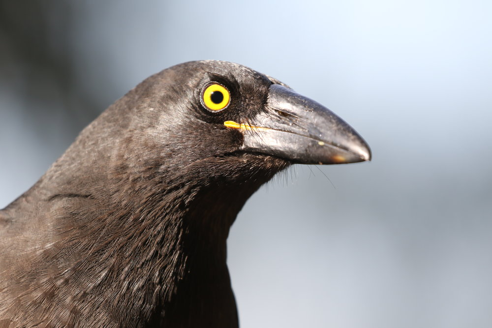 Young Pied Currawongs can be distinguished from adult birds by the presence of a small, fleshy, yellow gape of the bill.  Image: Rowan Mott