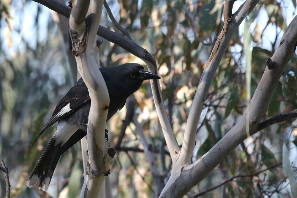 Pied Currawongs are a familiar sight in many built-up areas of Victoria, particularly during winter when many individuals from higher altitudes descend to places with a more moderate climate.  Image: Rowan Mott