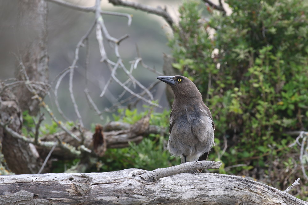 Grey Currawongs can also be found in Victorian towns and cities. Although very similar to Pied Currawongs, they can be distinguished by their greyer plumage and lack of white on the rump.  Image: Rowan Mott