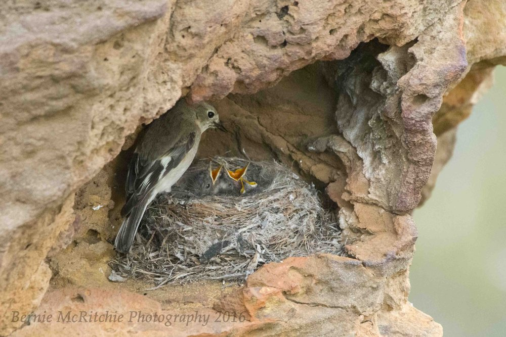 A female Flame Robin at her nest.  Image: Bernie McRitchie