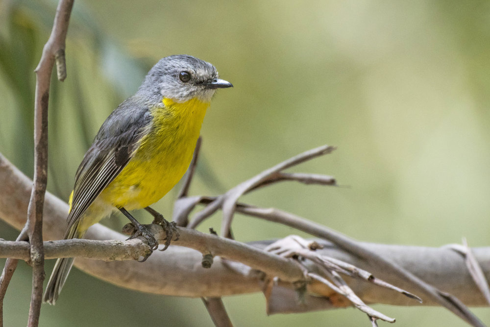 Eastern Yellow Robins can be found near the coast and further inland.  Image: David Whelan