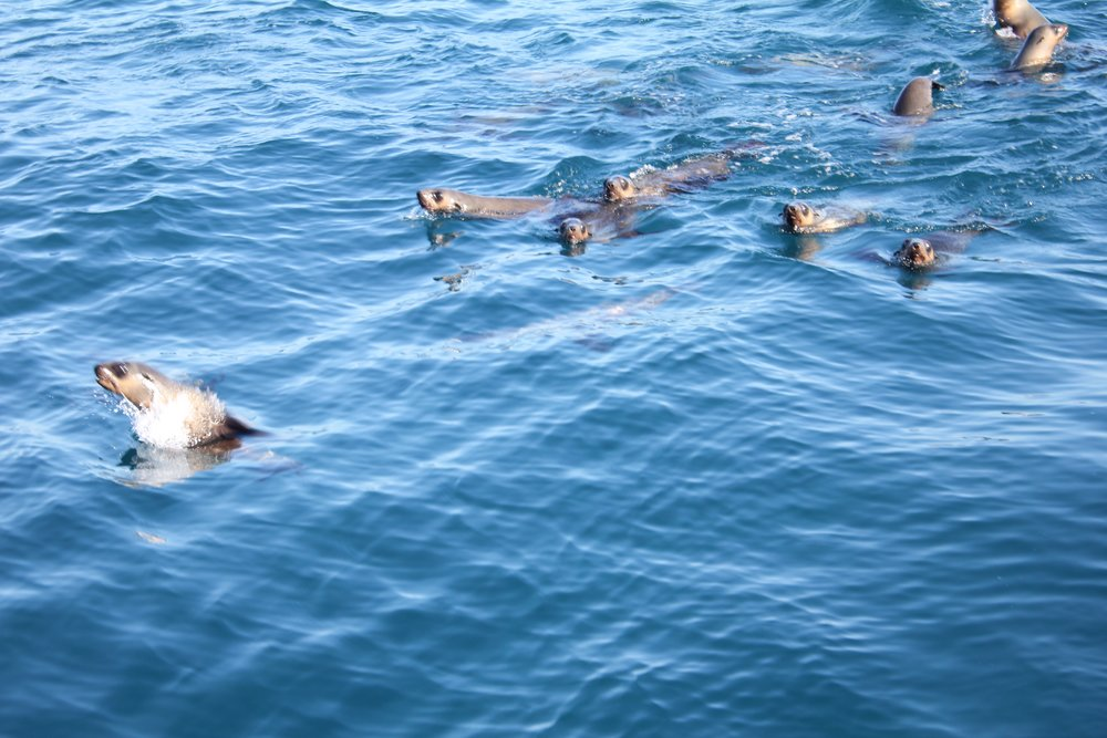Fur seals are a common sighting off the coast of Phillip Island.  Image: Ella Loeffler
