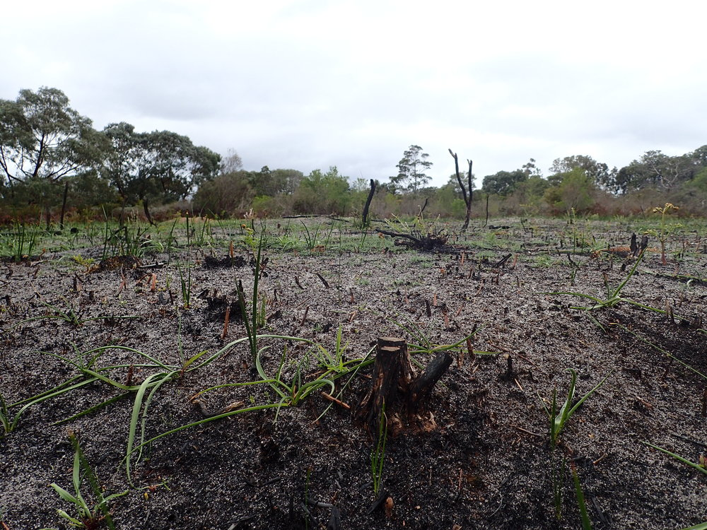 A recently burned patch at Bay Road Heathland Sanctuary colonised by Chocolate Lilies and Sandhill Sword Sedge.  Image: Lyndsey Vivian