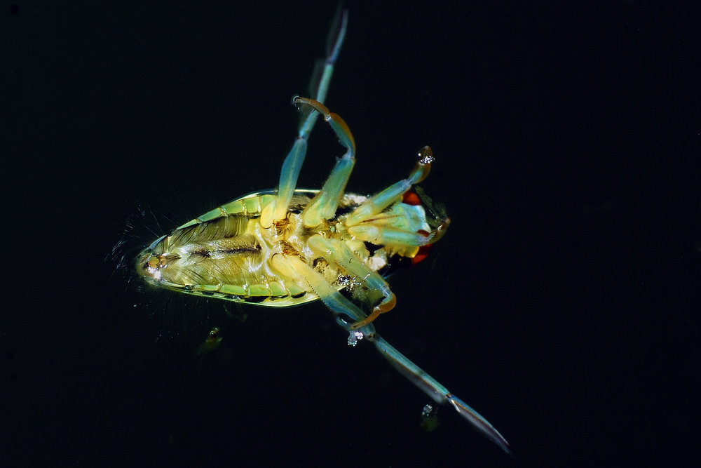 Water Boatman Nymph.  Image: Larah McElro /    Flickr    [CC BY-NC 2.0 (https://creativecommons.org/licenses/by-nc/2.0/legalcode)].