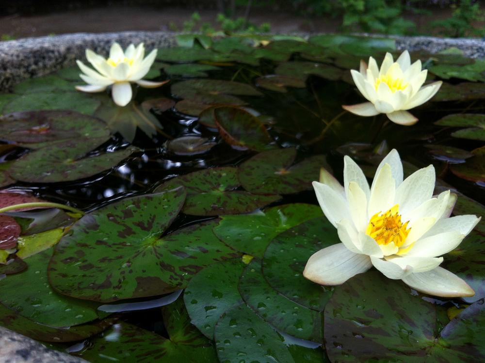 lilies in Seoul.jpg