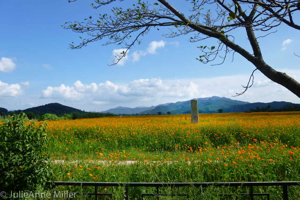 Poppy field in Gyeongju