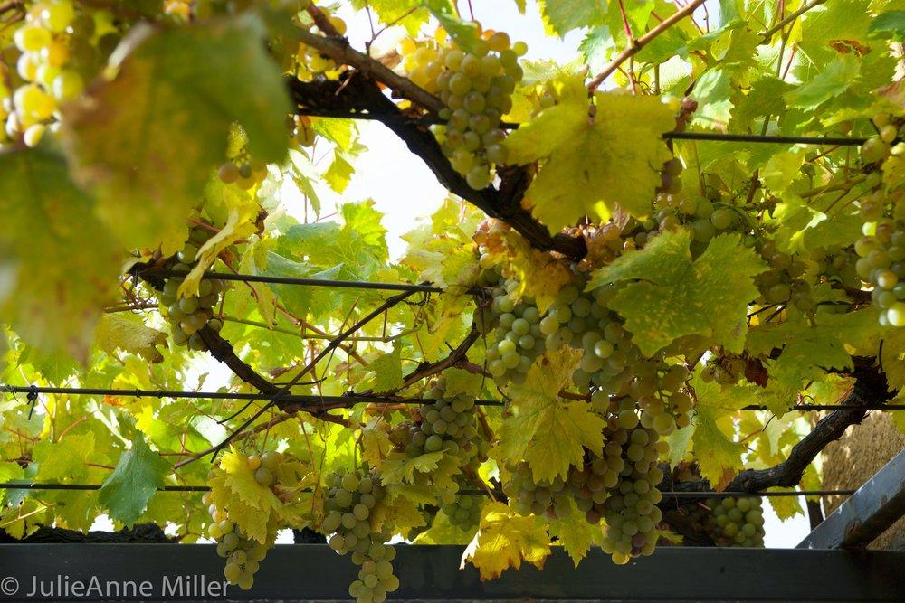 grapes closeup.jpg
