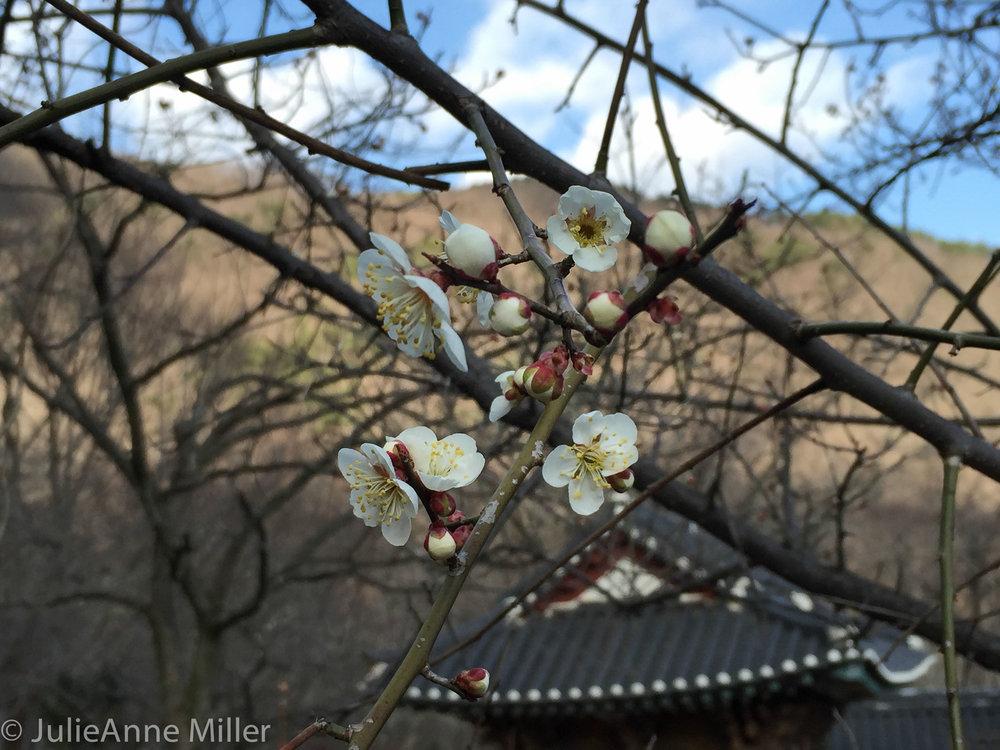 spring blooms, Korea