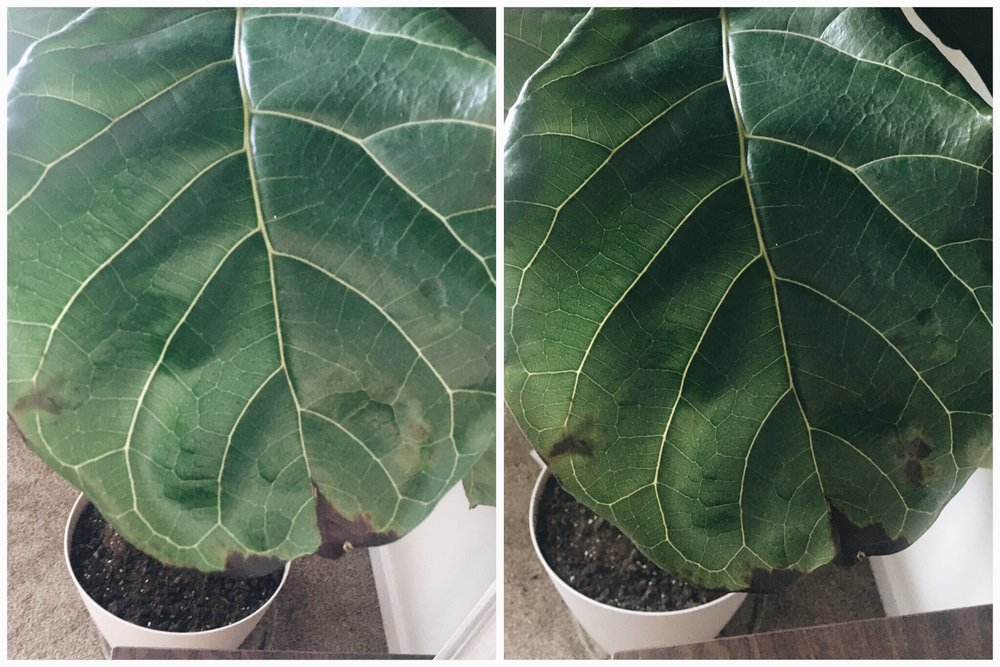 Boise Senior Photography Plant Lover Makayla Madden Photography Fiddle Leaf Fig Care Tips Tricks Signs of Over Watering Oedima Plant Advice Care