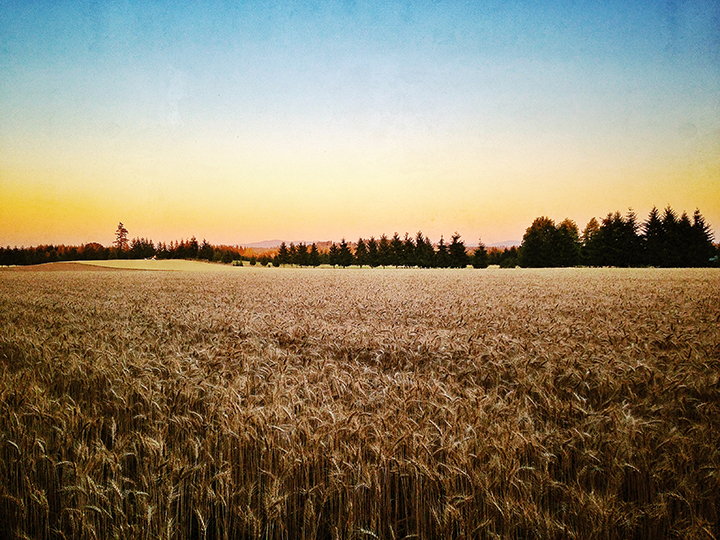 The golden hour during an evening walk around the wheat fields. Photo by John Bennett