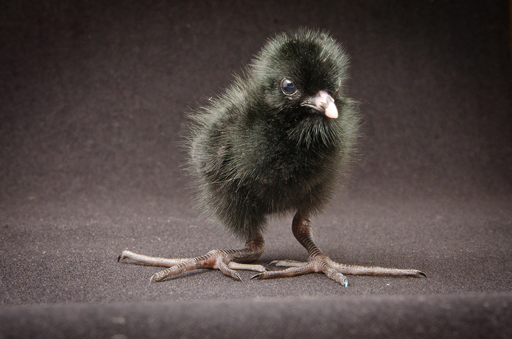 A black crake chick five days after hatching at the Oregon Zoo.  Photo by Michael Durham