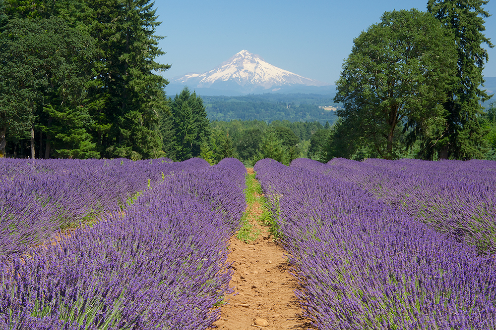 Lavender grows particularly well in the maritime climate of the Pacific Northwest. At the Oregon Lavender Farm near Oregon City, over 25 acres are in production. Located at the end of the Oregon Trail, the farm enjoys views of three Cascade peaks, including Mt. Adams, Mt. St. Helens and Mt. Hood, pictured here. Photo by Janet Loughrey