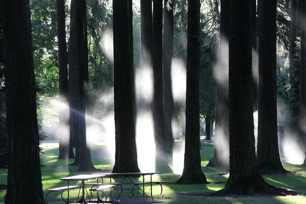 Sprinklers create a fog like effect when they splash off the Douglas Fir trees in the morning sun at Columbia Park in Portland. Photo by Jerry Makare