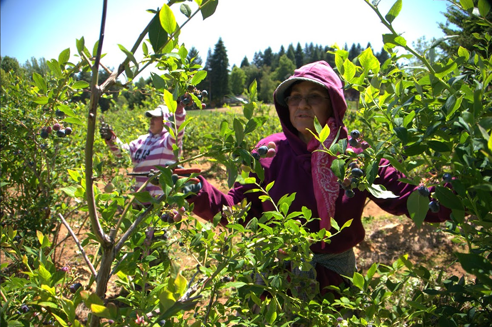 Picking grapes on a farm near Oregon City. Photo by Dan Sadowsky