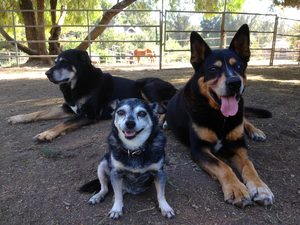 """The Black and Tan Clan"" Roxy, Minnie and Zorro"