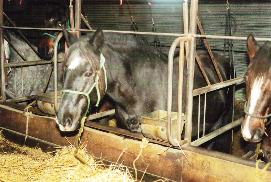 Pregnant mares used for harvesting horse urine for Premarin