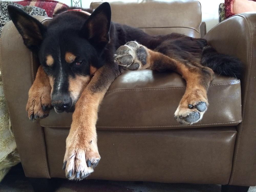 Zorro, sick as a dog