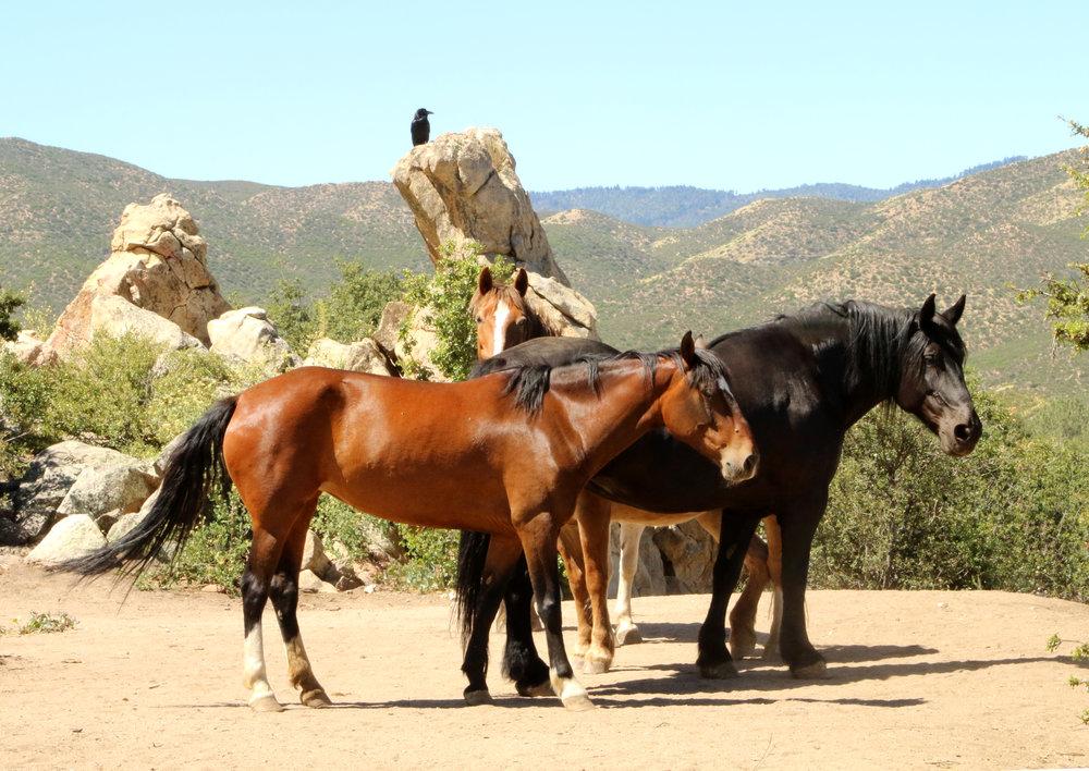 raven horses best hi res.jpg