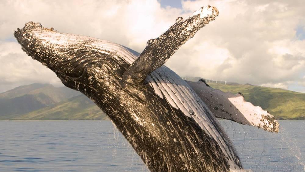 maui whale.jpeg